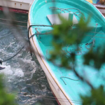 Striped dolphin kill, Taiji, Japan October 2015