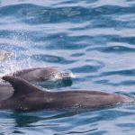 Bottlenose dolphins, Taiji, Japan