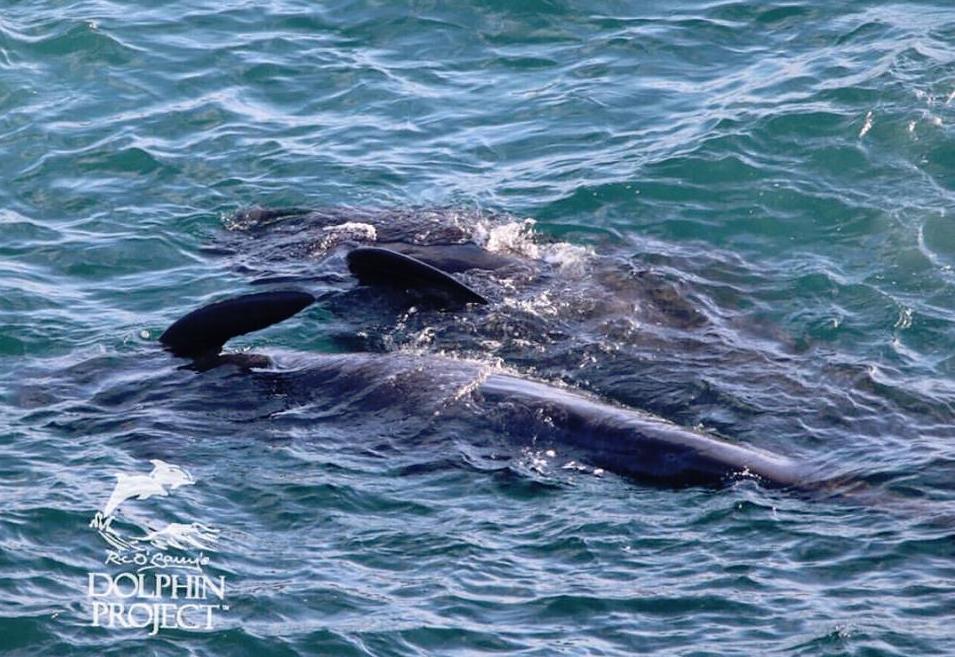 Pilot whale Taiji, Japan 11-20-15