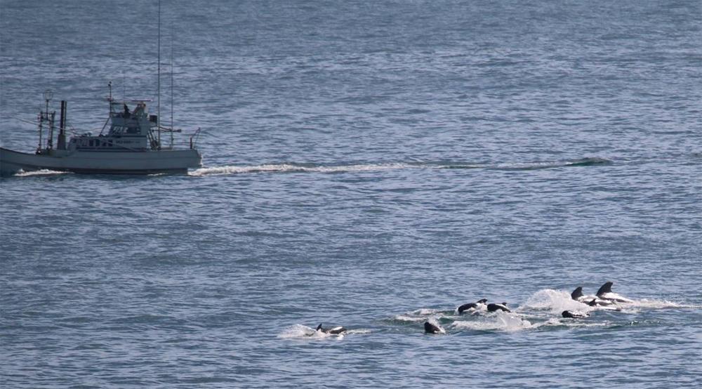Pilot Whales, Taiji, Japan, 11-19-15