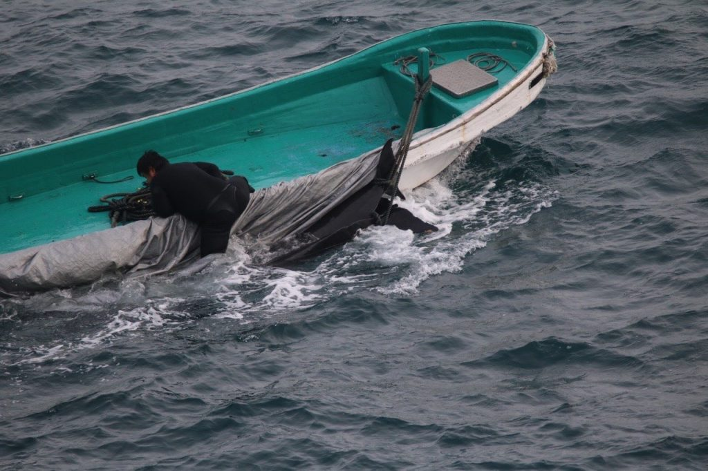Dead pilot whales taken away by skiffs