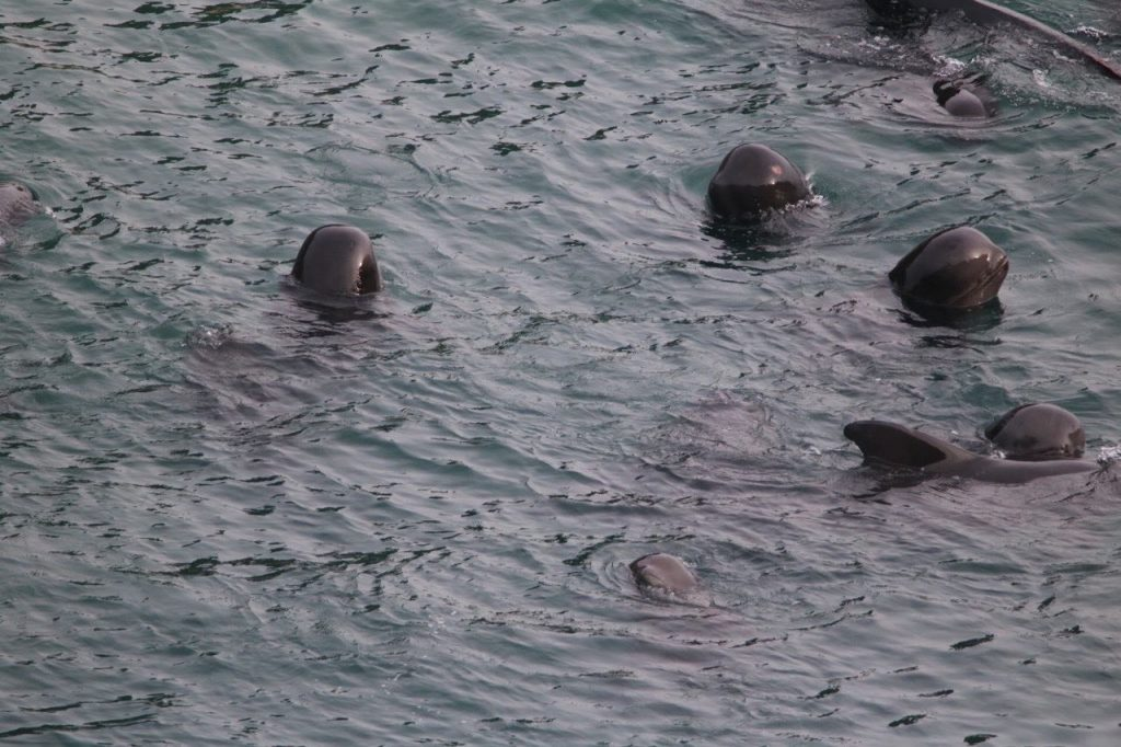 Pilot whales spyhopping, Taiji 11-22-15