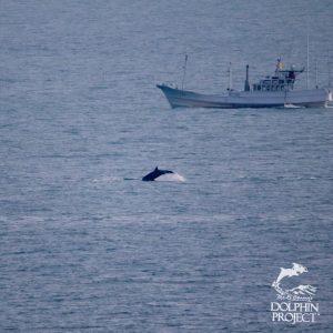Risso's dolphin, Taiji, Japan