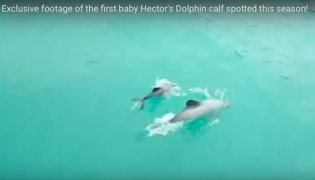 VIDEO: Rare Hector's Baby Dolphin