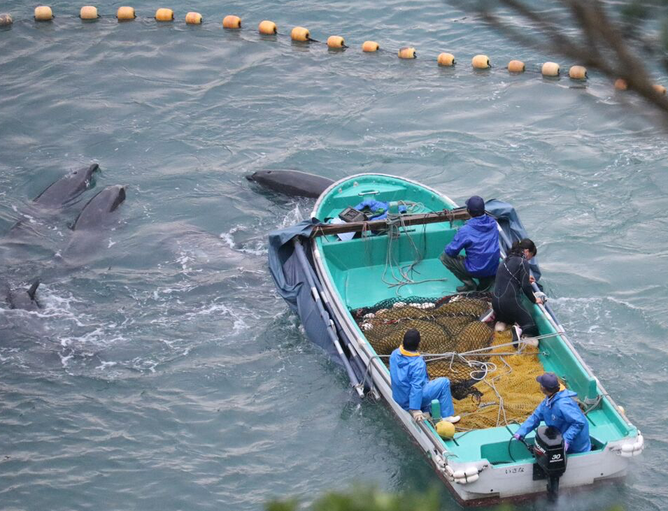 Bottlenose dolphins run over by skiffs, Taiji, Japan, Dec 20-22 2015 Photo credit: Tim Burns/Christine Gau/Dolphin Project