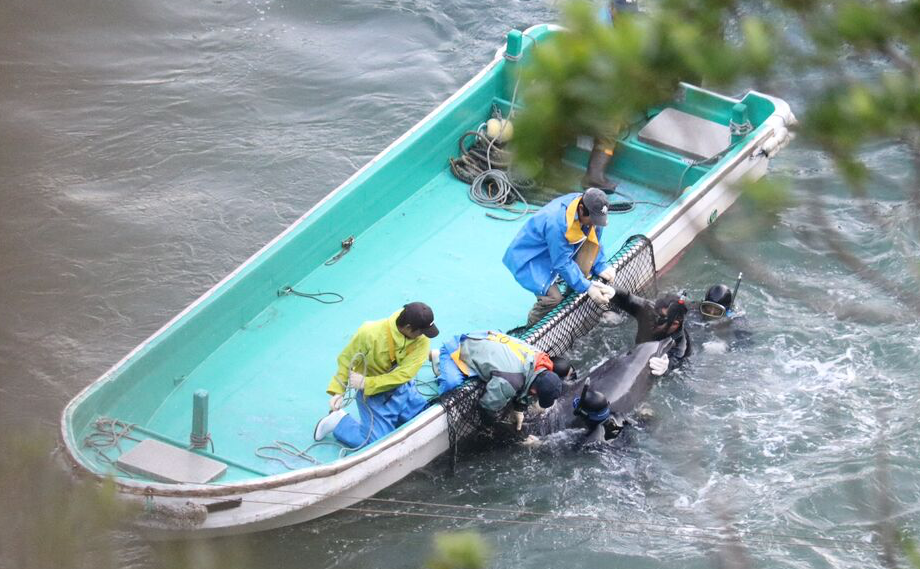 Captured dolphin during captive selection, Taiji Japan, Dec 20-22, 2015