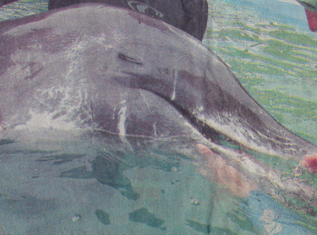 Rough-toothed dolphin rehabilitation, March, 2005