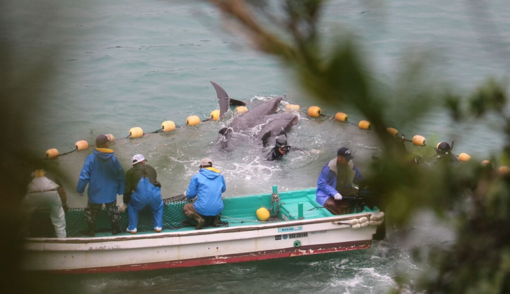 Terrified dolphins jump over nets to escape, Taiji, Japan, Dec 20-22, 2015