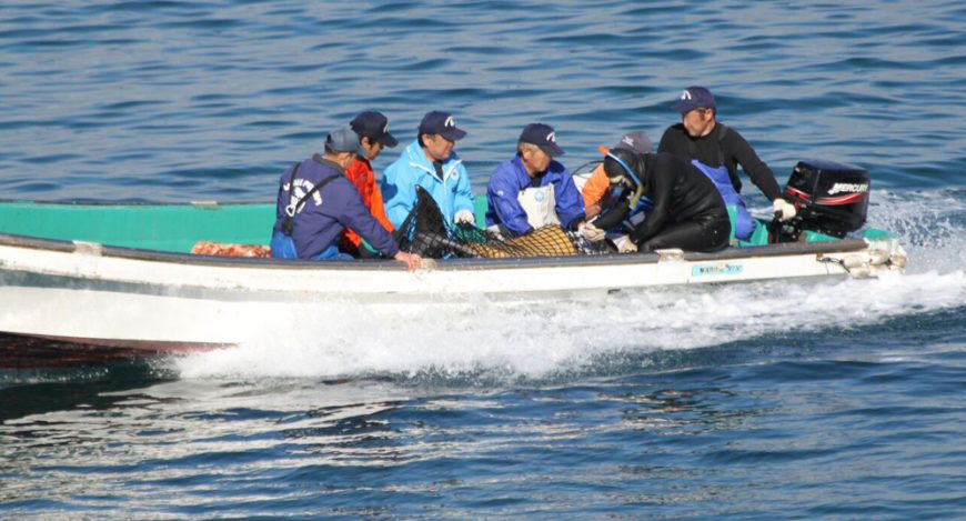 Pacific White-sided dolphins caught for captivity