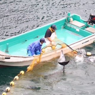 Panicked dolphins try to escape hunters