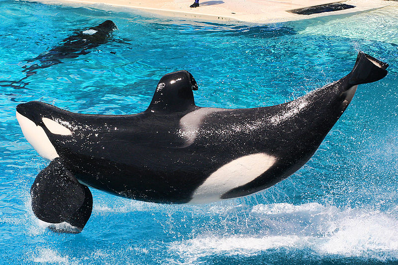 Orcas performing at SeaWorld
