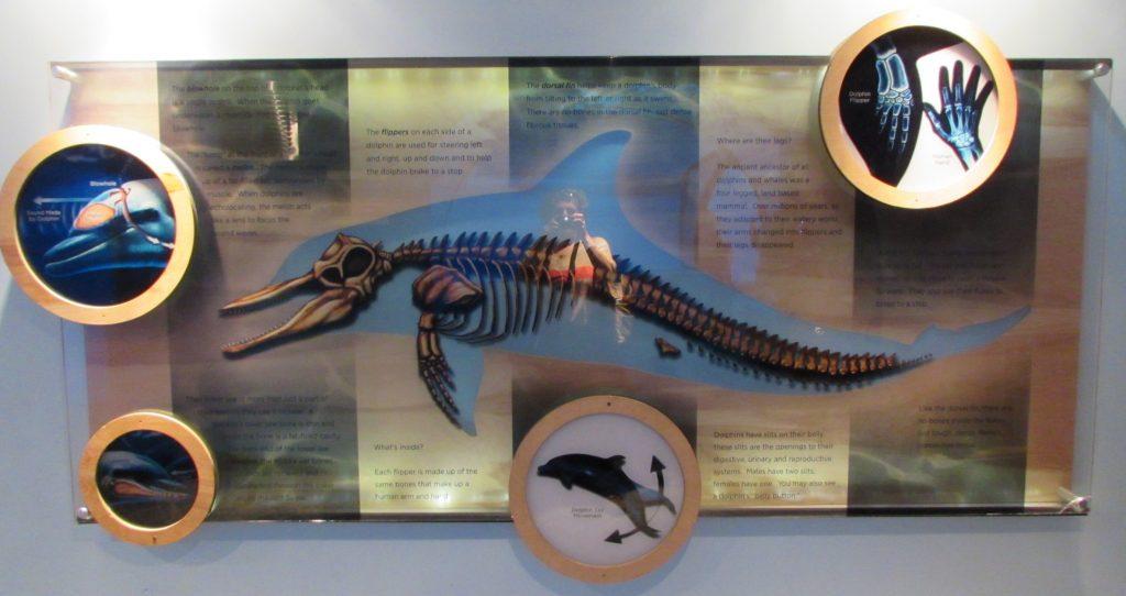 Dolphin Physiology_education
