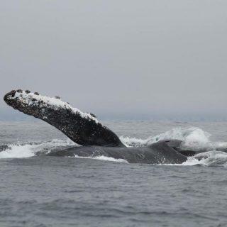 juvenile humpback whale surface feeding