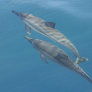 Spinner dolphins, Hawaii