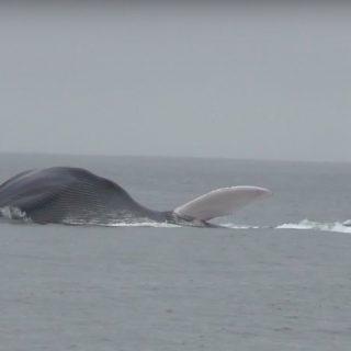 Blue whale, Monterey, California