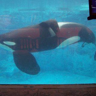 Tilikum, SeaWorld San Diego