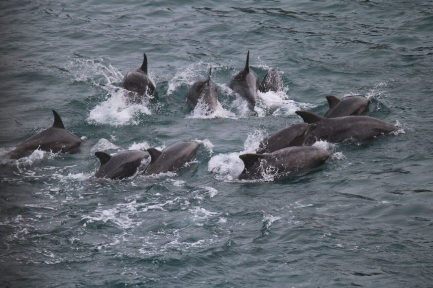 First bottlenose dolphins captured in Taiji, Japan, 9-16-16
