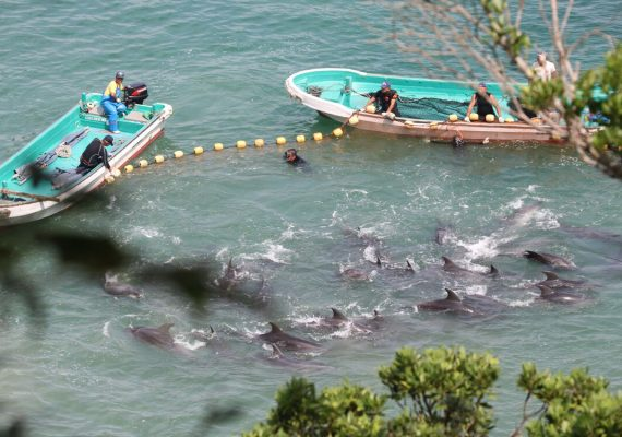 Nets being pulled tighter around dolphins to push them into shallow waters