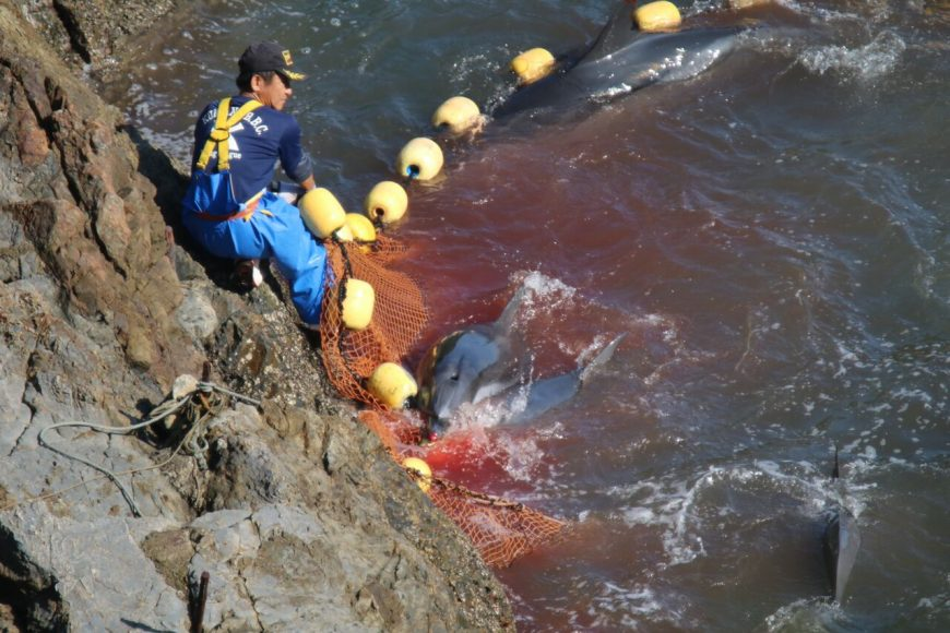 Striped dolphins panic and bleed out in the cove