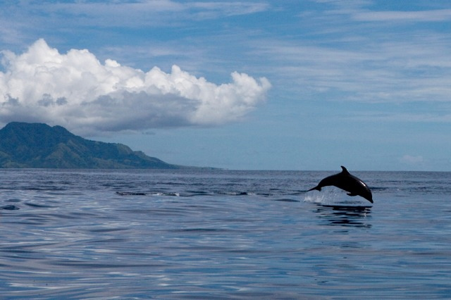 Illegally-Caught Dolphins in the Solomon Islands Set Free