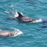 mom and baby Risso's dolphins, dolphin drives, dolphin hunting, Taiji, Japan, The Cove