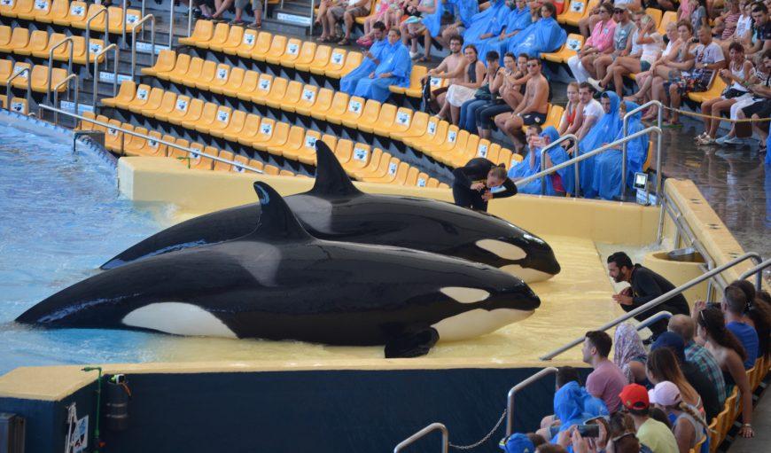 captive orcas at Loro Parque