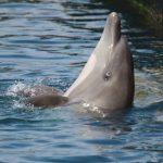 captivity kills, bottlenose dolphin, Taiji, Japan