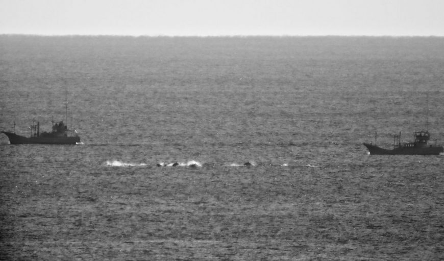 Pod of striped dolphins flee banger boats as hunters are in relentless pursuit.