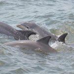 Wild bottlenose dolphins