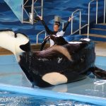 Performing orca at SeaWorld, San Antonio, TX