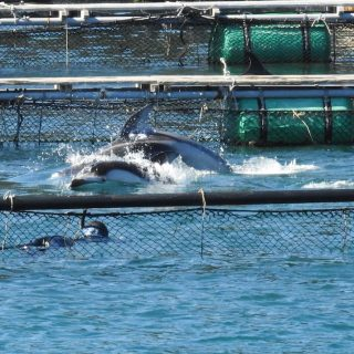 """Trapped! Pacific white-sided dolphins captured for """"life"""" in captivity, Taiji, Japan"""