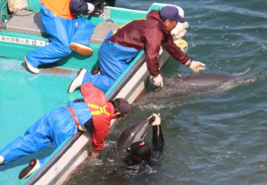 Capture of pantropical spotted dolphins, Taiji, Japan, 2-26-17