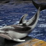 Pacific white-sided dolphin, Vancouver Aquarium
