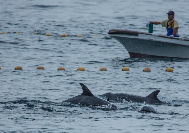 Two More Species of Dolphins Added to Taiji's Hunts