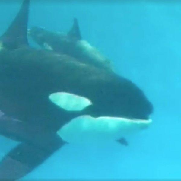 Breaking: SeaWorld's Baby Orca Kyara is Dead