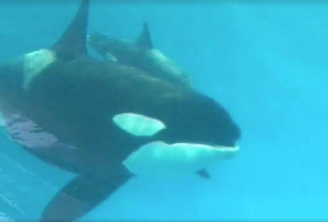 Baby Kyara dies at SeaWorld San Antonio, Texas