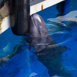 Chester, false killer whale, Vancouver Aquarium