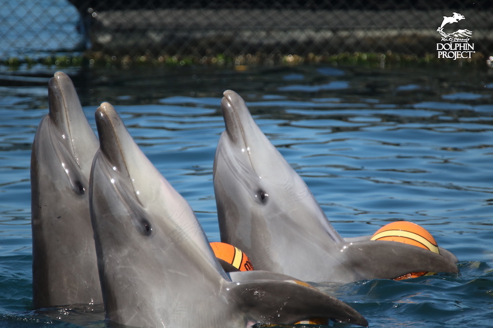 Bottlenose dolphins learn to perform tricks for dead fish, Taiji, Japan