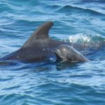 Mom and baby pilot whales driven into the cove, Taiji, Japan