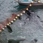 Pilot whale drive, Taiji, Japan, 9-4-17