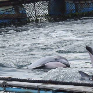 The Cove, Taiji, Japan, Dolphin Hunting, Dolphin Slaughters, Dolphin Drives, Captivity, Dolphin Project Cove Monitors