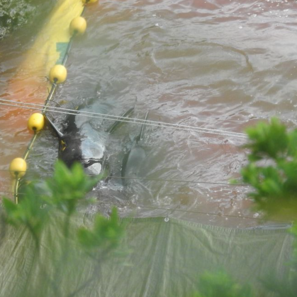Terror in The Cove as Pilot Whales Slaughtered