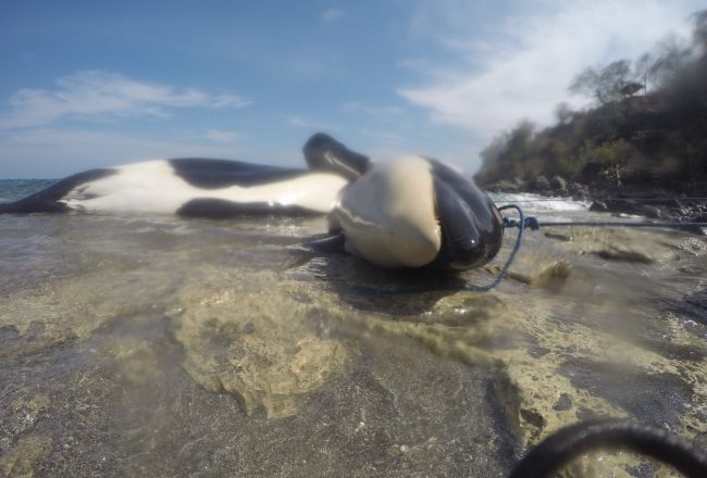 Family of orcas killed illegally in Lamalera, Indonesia