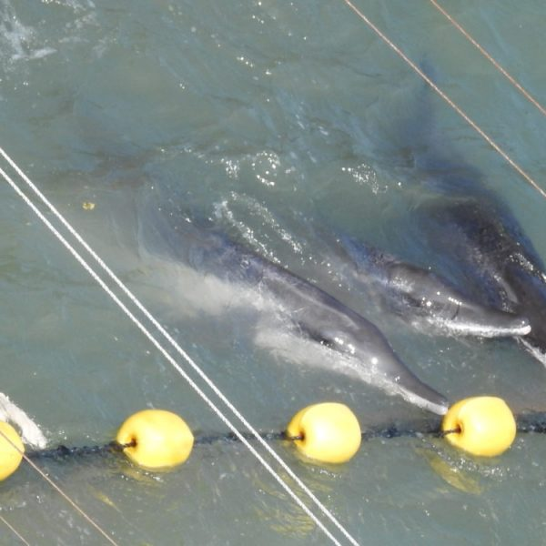 Multiple Species of Dolphins Decimated in The Cove