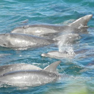 First pod of bottlenose dolphins captured for 2017/18 season, Taiji, Japan