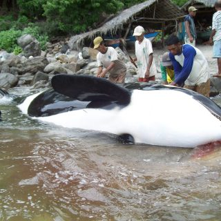 A harpooned orca in Lamalera, Indonesia.