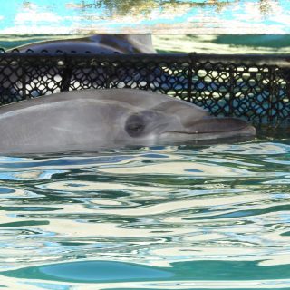 Wild-caught bottlenose dolphin, Taiji, Japan