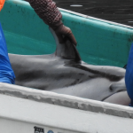 Pacific white-sided dolphins captured in Taiji, Japan