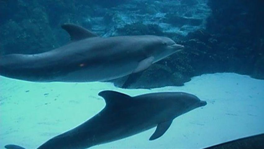 Captive bottlenose dolphins.