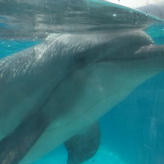 Captive bottlenose dolphin at Marineland, Niagara Falls